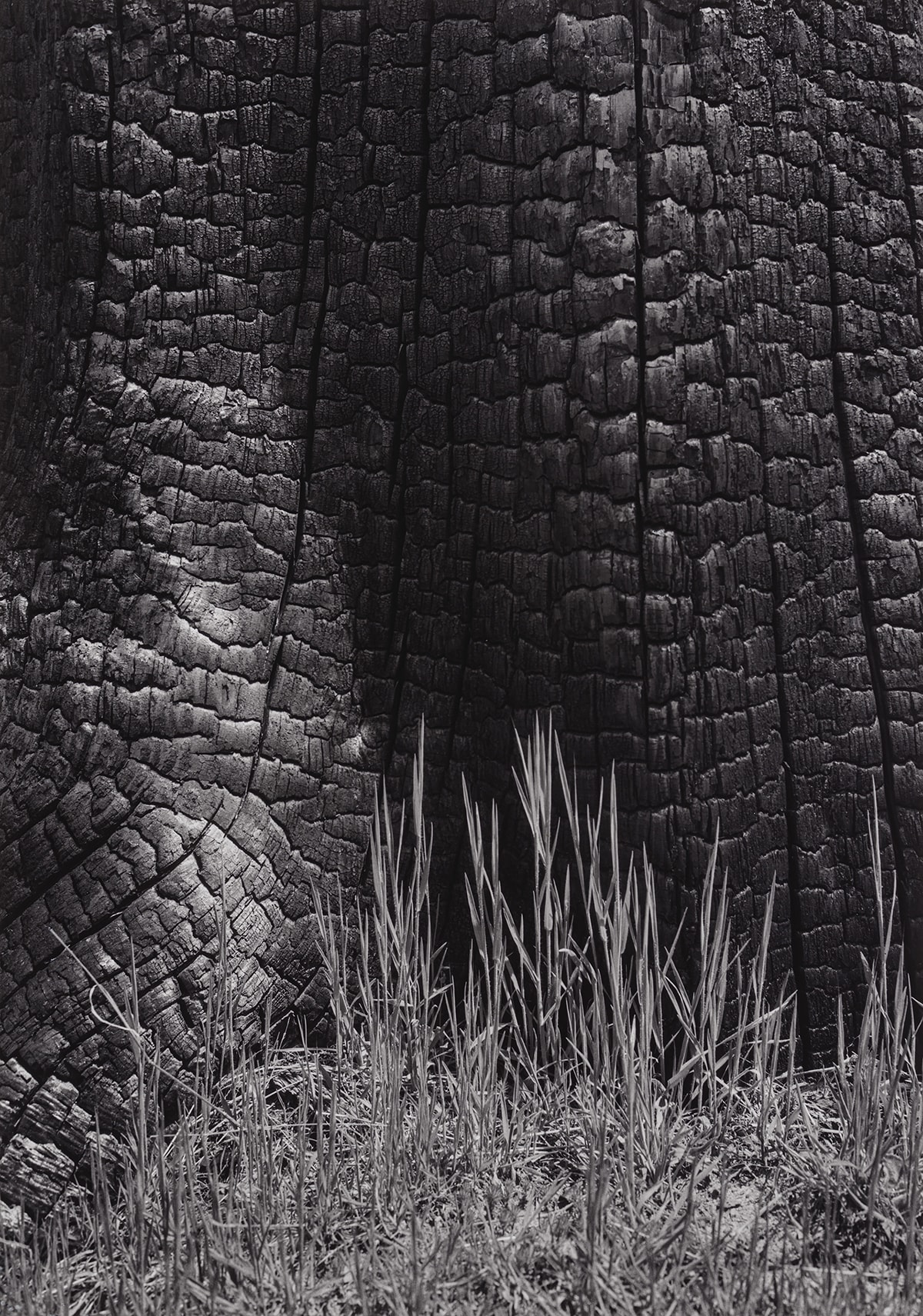 Image description: Grass and Burned Stump, Sierra Nevada, California, Ansel Adams, gelatin silver print. A black and white, vertical photograph of a close-up view of a burned tree stump with grass growing at its base. Most of the photo features the highly textured burned tree bark. Deep cracks run vertically down the trunk and off to a thick root that extends to the left. The bark breaks down into uneven, corrugated segments between the vertical cracks, giving the trunk a wrinkled appearance. Sparse blades of grass grow at the base about a third of the way up the photo and are highlighted against the dark shadow on the trunk.