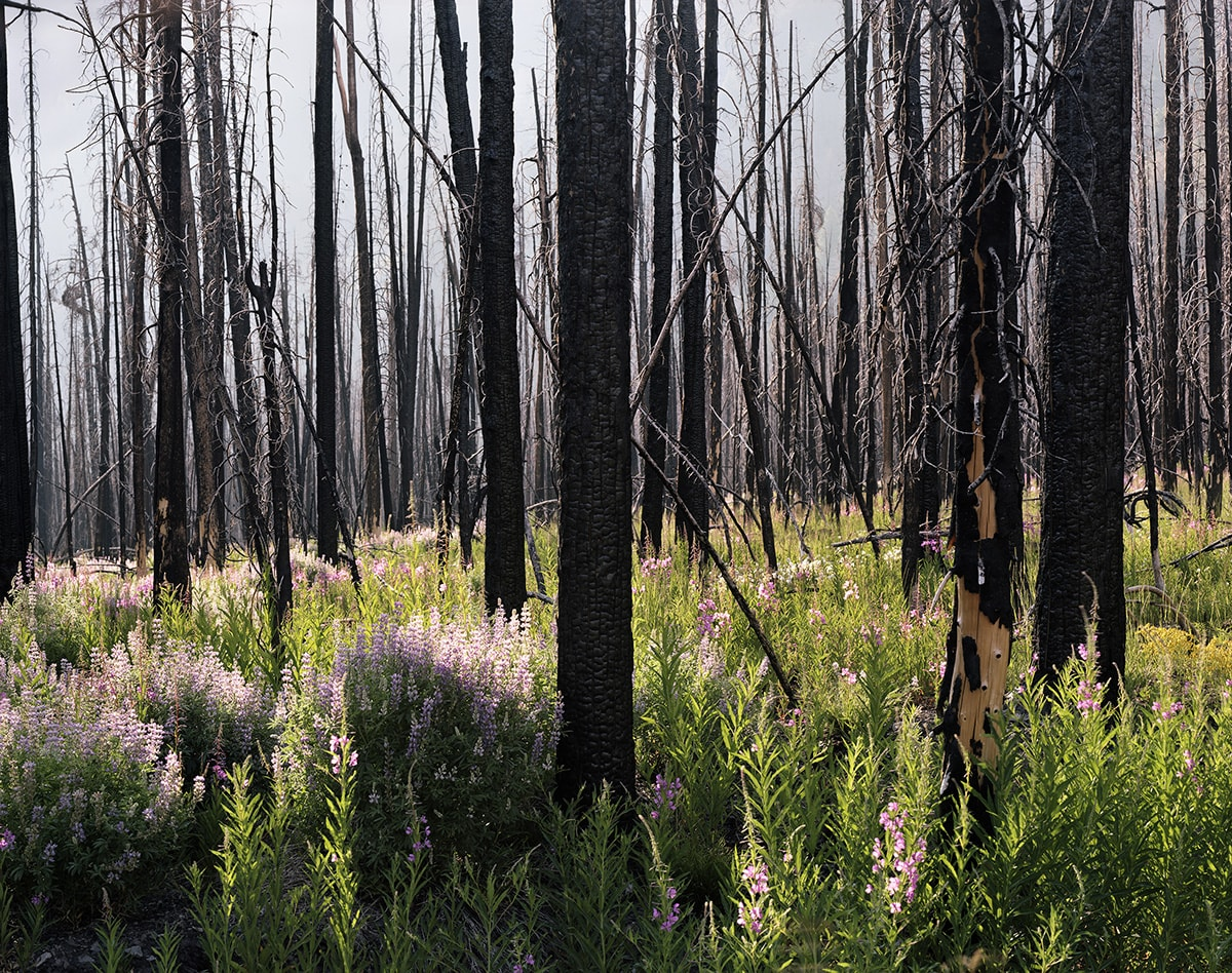 Image description: Midsummer, (Lupine and Fireweed), Laura McPhee, inkjet print. A landscape-oriented photograph of charred tree trunks densely packed with few branches amid a forest floor abundant with greenery and purple lupine spires. The upper two-thirds of the photo contains blackened tree trunks against a gray sky. The trunks can be seen receding well into the distance. The bottom third of the work shows bright green foliage and clumps of spiky purple lupine blooms in the sunshine. The trees in the foreground show crenellated, burnt, black bark. A tree on the right has lost parts of its bark and has its pale beige wood exposed.